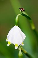 Ladybird on a spring snowflake, Leucojum vernum, Flower, Spring