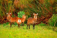 Family of waterbuck