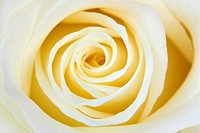 beautiful white rose