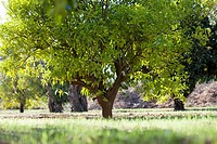 orange grove, Parque del Alamillo, Seville, Aldalucia, Spain