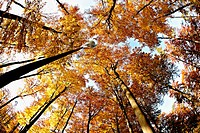 Low angle view of beech forest with autumn leaves