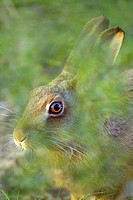 Brown Hare Lepus europaeus portrait