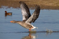 Greylag Goose Anser anser taking off from coastal pool