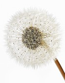 Dandelion Head, Close_Up