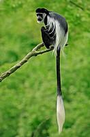 Black_and_white Colobus Monkey / Colobus guereza / Mantled Guereza