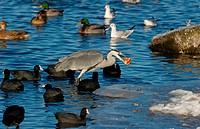Grey Heron Ardea cinerea adult, with apple in beak, feeding amongst Common Coot Fulica atra, Mallard Duck Anas platyrhynchos and Black_headed Gull Lar...