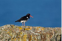 Eurasian Oystercatcher Haematopus ostralegus adult, summer plumage, standing on rocky clifftop, Shetland Islands, Scotland, June