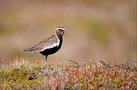 Eurasian Golden Plover Pluvialis apricaria adult, breeding plumage, calling, standing on moorland, Iceland, June