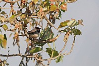 Ruppell´s Warbler Sylvia rueppelli adult male, perched on branch, Cyprus, march
