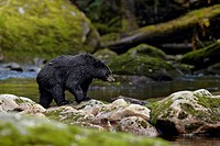 American Black Bear Ursus americanus kermodei adult, fishing for salmon at edge of river in temperate coastal rainforest, Great Bear Rainforest, Gribb...