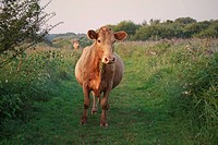 Domestic Cattle, cow, grazing on path in river valley fen habitat at sunrise, used for conservation grazing management on reserve, Middle Fen, Redgrav...