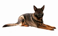 Domestic Dog, German Shepherd Dog, adult, laying