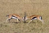 Thomson´s Gazelle Gazella thomsoni two adult males, fighting, Masai Mara, Kenya, August