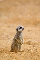 Meerkat Suricata suricatta baby, sitting upright on sand captive