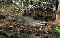 American Crocodile Crocodylus acutus Florida