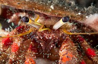 Dark_knee Hermit Crab Dardanus lagopodes adult, close_up of eyes, Lembeh Straits, Sulawesi, Sunda Islands, Indonesia