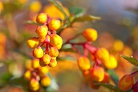 Darwin´s Barberry Berberis darwinii close_up of flowerbuds, in garden, Powys, Wales, March