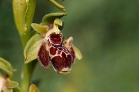 Attica´s Orchid Ophrys attica close_up of flower, Cyprus, march