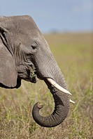 feeding African Elephant Loxodonta africana, Serengeti National Park, Tanzania