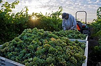 A field worker harvests Sauvignon Blanc grapes at sunrise in the Dry Creek Wine Country near Healdsburg, CA.