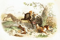 Boar with a pack of dogs  Antique illustration, 1856