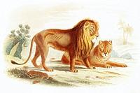 Couple of lions  Antique illustration, 1856