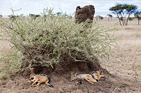Black-backed Jackals Canis mesomelas sleeping in the shadow of a termite mound, Serengeti National Park, Tanzania