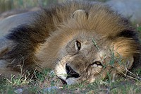 Lion Panthera leo lying in savannah, Serengeti National Park, Tanzania