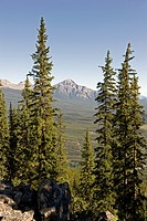 Tall Coniferous Trees And The Canadian Rocky Mountains, Alberta Canada