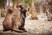 A Camel Sitting On The Ground, Israel
