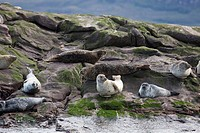 Sea Lions Sitting On The Rock At The Water´s Edge, Applecross Peninsula Scotland