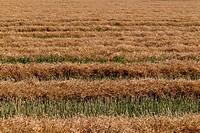 Cut wheat crop.
