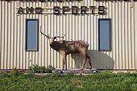 Target deer outside sports supplies store, saskatchewan canada