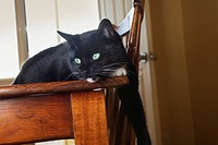 Black cat with white markings on dining room table, toronto ontario canada
