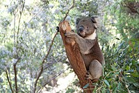 Koala on a tree trunk in Queensland, Australia