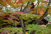 Autumn colours in garden of Kinkakuji, Kyoto, Japan