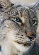 Siberian lynx Lynx lynx wrangeli