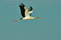 Wood stork flying against blue sky