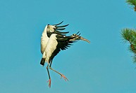 Wood stork before landing on tree branch