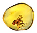 Prehistoric fly in Baltic Amber. The amber is only 8mm wide and comes from the Baltic coast, Lithuania