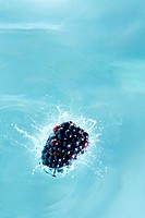 High angle studio shot of a single blackberry being dropped into blue water