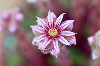 Jovibarba heuffelii, Houseleek, Jupiter´s beard, Pink subject.