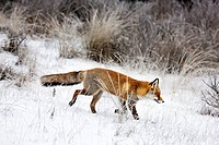 Red fox Vulpes vulpes hunting in grassland in the snow in winter