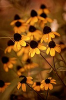 Rudbeckia triloba, Brown_eyed Susan, Yellow subject.