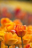 Tulipa 'Daydream', Tulip, Orange subject