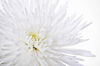 Chrysanthemum cultivar, Chrysanthemum, White subject, White background.