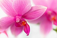 Phalaenopsis cultivar, Orchid, Moth orchid, Pink subject, White background.