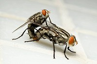 Horse_flies family Tabanidae mating.