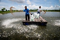 Organic fish farm. Workers feeding fish at the Binca Seafood organic aquaculture farm, Vietnam. This farm breeds and processes Pangasius hypophthalmus...
