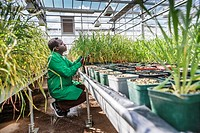 Plant research. Researcher tending wheat Triticum sp. plants in a greenhouse.